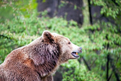 Side of brown bear Royalty Free Stock Photos