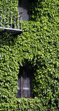 Side of a building covered in ivy Stock Photography