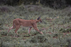 Side on Caracal Royalty Free Stock Images