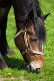 Side close up of a brown horse eating fresh grass Royalty Free Stock Photos
