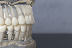 Side close up view of teeth model Stock Images