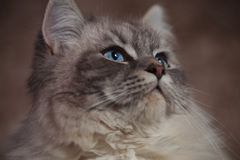 Side closeup picture of a beautiful cat with blue eyes Stock Image