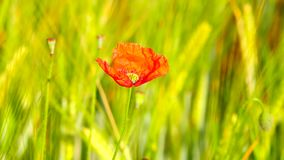Side detail view of the red poppy flower with fresh green wheat field on a background. Flowers of red poppy. In the wild field with green wheat stock video footage