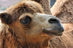 Side face of camel. Side face of a camel, shown detail of head and face part Royalty Free Stock Images