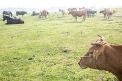 Side face of cow Royalty Free Stock Images