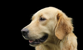 Side face of golden retriever over black Royalty Free Stock Photo