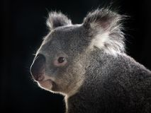 Side face of a koala. Side face of a koala on a black background royalty free stock photo