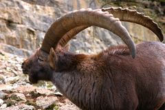 Side-face of a male alpine ibex royalty free stock photo