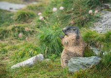 Side face portrait of a marmot eating a carrot stock photo