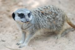 Side face portrait of a meerkat. See my other works in portfolio Royalty Free Stock Photo
