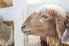 Side of face sheep in the stall Royalty Free Stock Photo