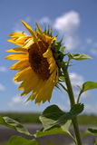 Side of a giant sunflowers stock photography