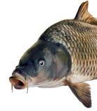 Side head fish big carp Royalty Free Stock Image