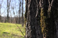 Tree with Moss Growing on Bark royalty free stock photos