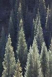 Sunlit conifers in Kebler Pass near Crested Butte Colorado America in the morning sun.  Stock Photography