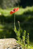 Side Lit Poppy. Growing out of wall against dappled green background royalty free stock image