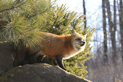 Side lit red fox Stock Photo