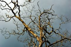 Side lit striking bare tree stands against a dark dramatic sky. Landscape royalty free stock photo