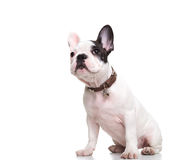 Side of little french bulldog puppy sitting and looking up Royalty Free Stock Image