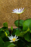 Side lotus blooming Stock Image