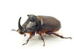 Side macro view of rhinoceros or unicorn beetle Royalty Free Stock Images