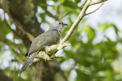 Side of Male Plaintive Cuckoo( Royalty Free Stock Photography