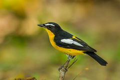 Side Male Yellow-rumped flycatcher. (Ficedula zanthopygia) catch on the wood in nature of Thailand Stock Photo