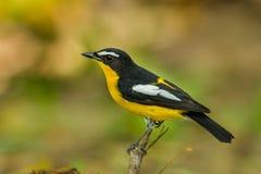 Side Male Yellow-rumped flycatcher Stock Photo