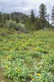 Yellow flowers of arrowleaf balsamroot carpet the side of a mountain in springtime stock images
