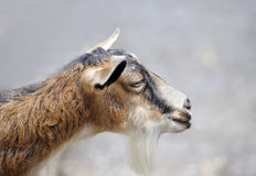 Side orofile of a goat Stock Photography