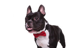 Side of a panting french bulldog puppy wearing bow tie Stock Photography