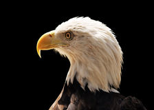 Side portrait of bald eagle Royalty Free Stock Photography