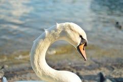 Side portrait of a beautiful Swan head. Majestic swan in Lucerne, Switzerland. White Swan Head Royalty Free Stock Image