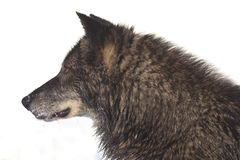 Side portrait of black timber wolf Stock Images