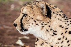 Side Portrait of a Cheetah stock image