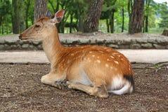 Side portrait of deer Stock Images