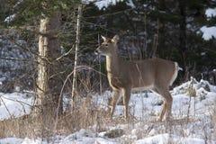 Side portrait of deer. Royalty Free Stock Image