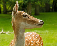 Side on portrait of Dutch deer Royalty Free Stock Photography