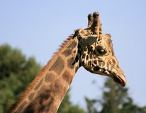 Side portrait of giraffe Stock Photos