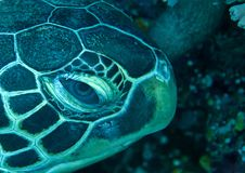 Side portrait of a green sea turtle Chelonia mydas resting on coral reef of Bali, Indonesia stock photos