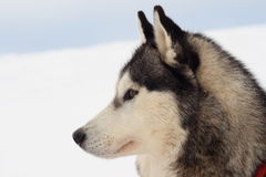 Side portrait of husky dog. With white snow in background and copy space stock images