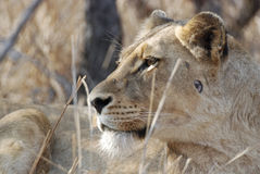 Side portrait of lioness royalty free stock image