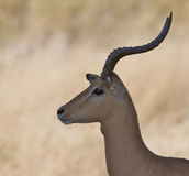 Side portrait of male Impala Stock Images