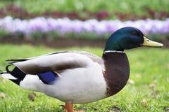 Side Portrait Mallard Duck. Mallard duck in park side portrait Royalty Free Stock Photo