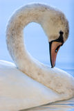Side portrait of mute swan Stock Photo