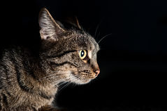 Side portrait of muzzle of a cat with yellow eyes Stock Photo