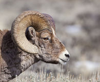 Side Portrait Of Big Horn Ram Stock Image