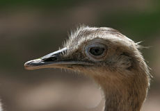 Side portrait of ostrich bird Royalty Free Stock Photos