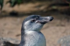 Side portrait of a penguin royalty free stock images