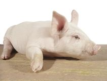 Side portrait of piglet. Pig Royalty Free Stock Photos